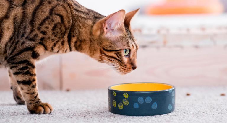 Как кормить бенгальскую кошку?