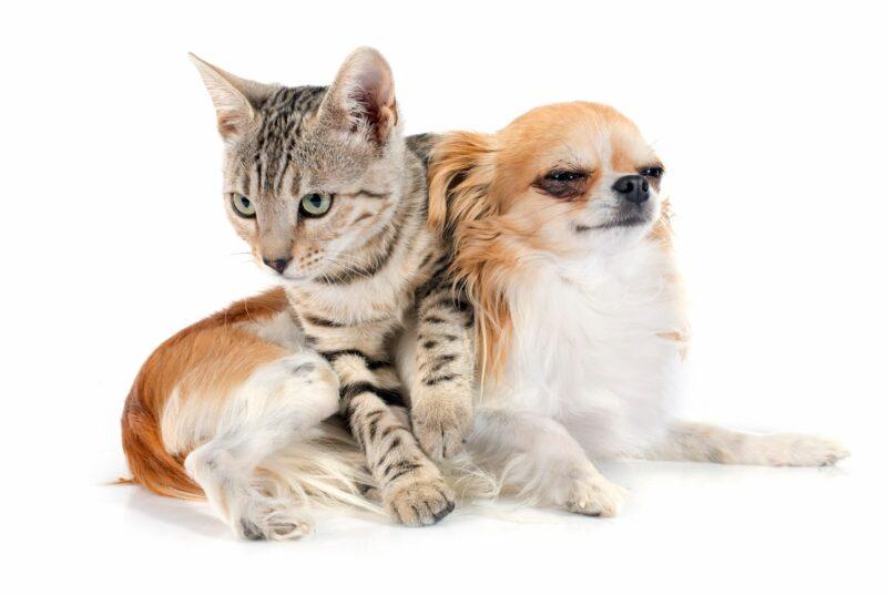 Бенгальские кошки хорошие компаньоны для собак
