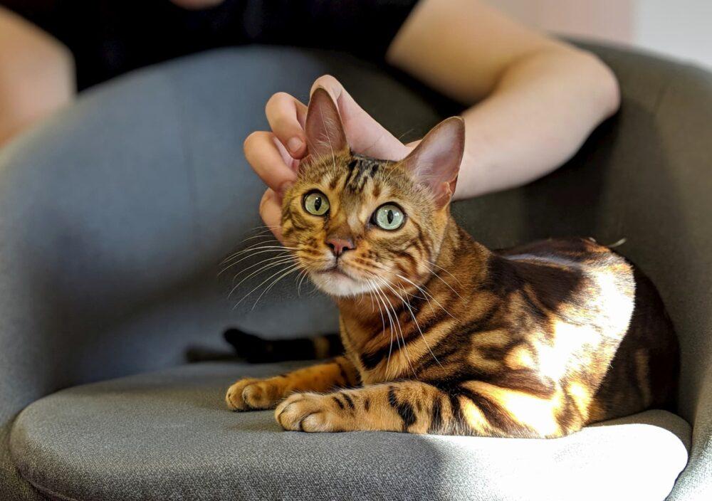 Бенгальские кошки ласковые?