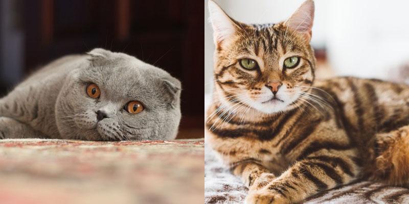 Бенгальский кот против шотландской вислоухой кошки