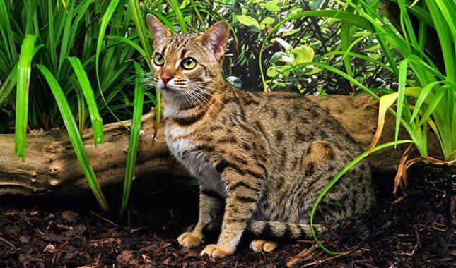 Происхождение бенгальской кошки