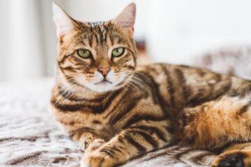 Первые дни бенгальской кошки дома