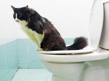 Как приучить кошку к унитазу