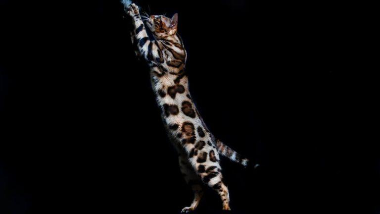 10 советов при покупке идеального котенка бенгальской кошки