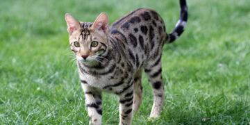 Сколько лет живет бенгальская кошка по сравнению с другими породами