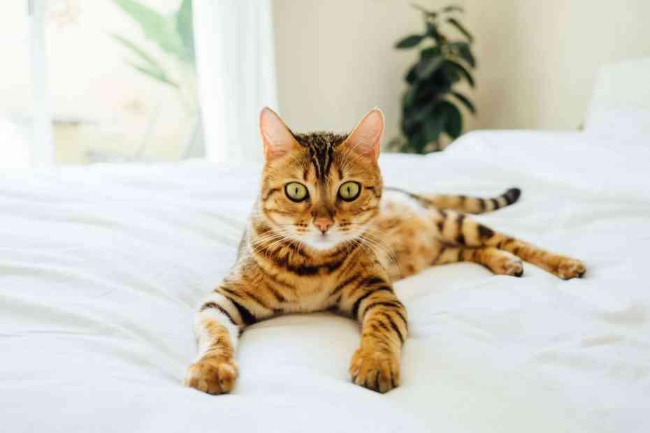 Преимущества наличия дома бенгальской кошки