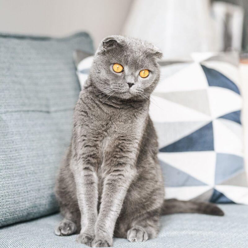 шотландской вислоухой кошке