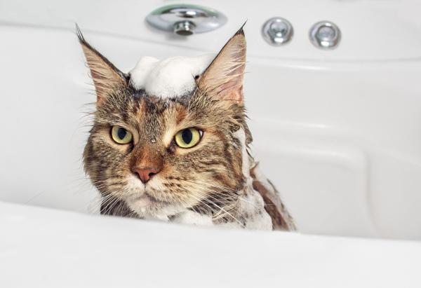 Можно ли купать кошек?