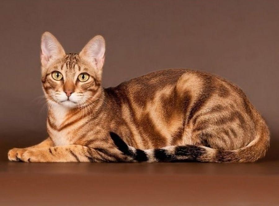 Сококе самых дорогих пород кошек в мире