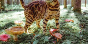 Леопардовые бенгальские кошки: все, что нужно знать