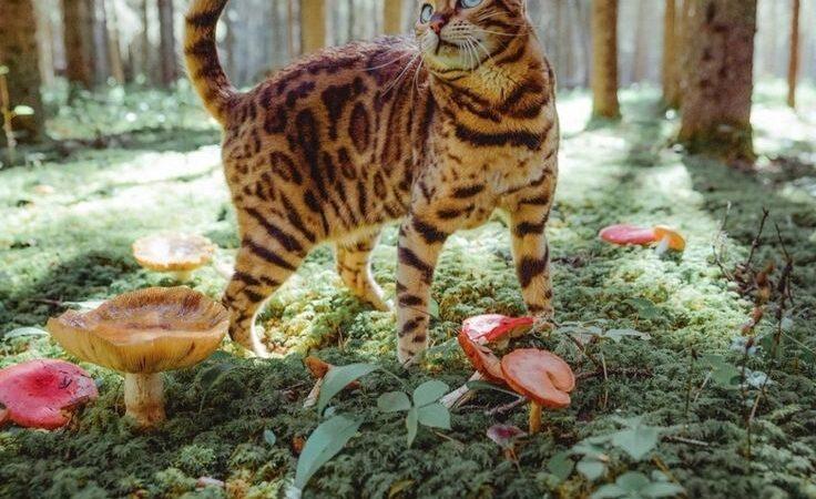 Золотые бенгальские кошки: все, что нужно знать