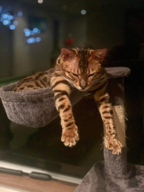 Отравление бенгальской кошки