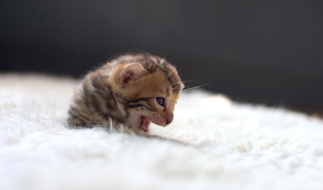 В каком возрасте лучше всего кастрировать котенка?