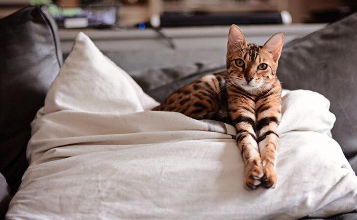Отравление бенгальской кошки в домашних условиях и как этого избежать
