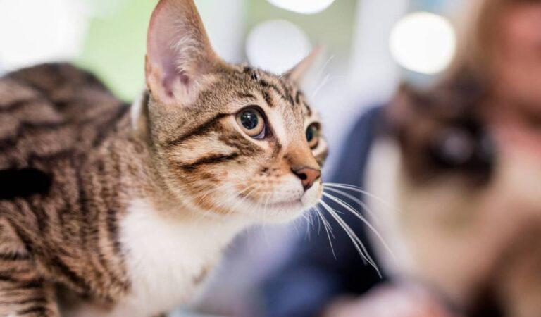 Как узнать, есть ли у моей кошки токсоплазмоз