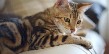 Простуда у бенгальской кошки