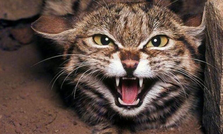 Агрессивность бенгальской кошки