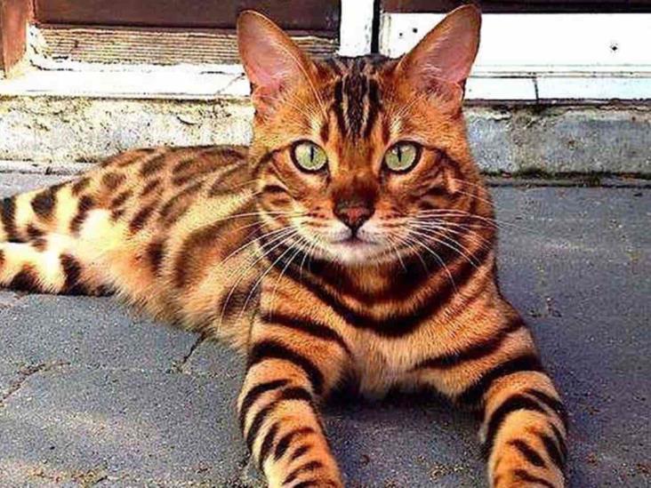 Кошки, похожие на тигров