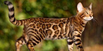 Болезни бенгальской кошки