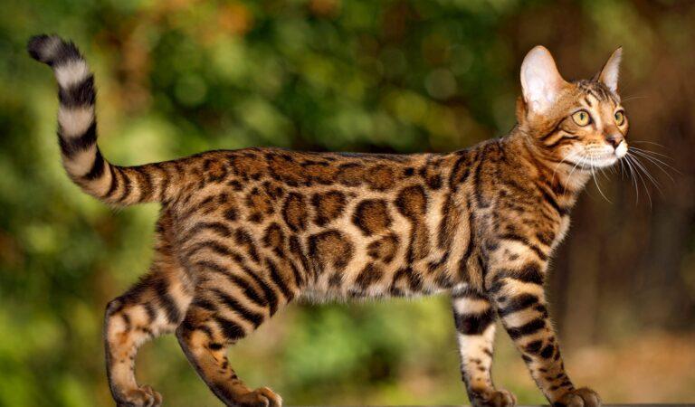 Болезни бенгальской кошки — какие бывают, как лечить