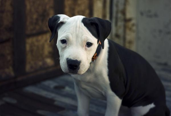 Виды собак породы ПИТБУЛЬ - с фотографиями