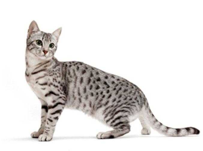 Кошки, похожие на тигров и других диких кошек