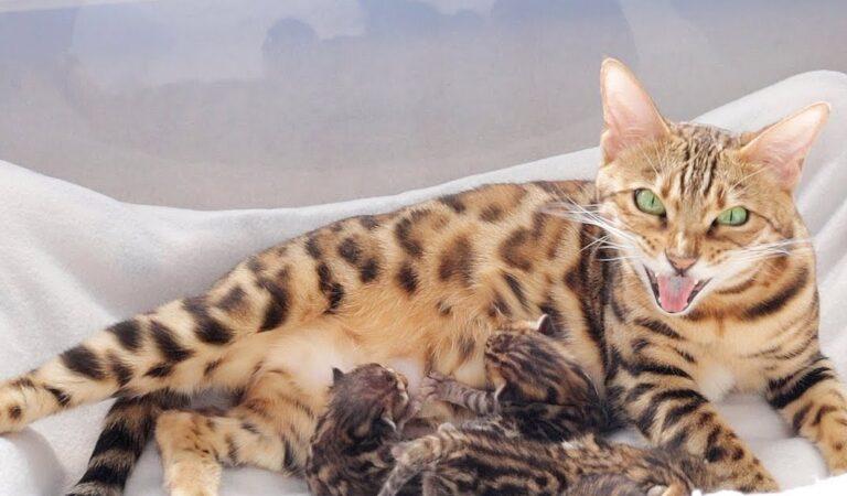 Размножение бенгальской кошки