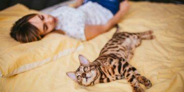 Бенгальский кот - хороший ли питомец для детей?