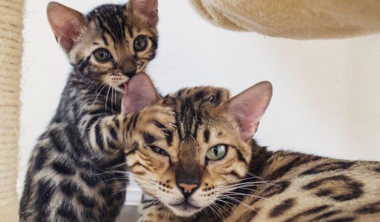 Бенгальские кошки пользуются лотком?